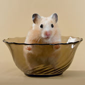 Hamster in a salad dish — Stock Photo