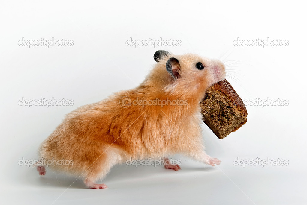 Hamster, bread, eating, animal, pets, mammal, cute, small, food, rodent, isolated, table, claw, paw, pest, snack, survival, fur, mischief, one, fluffy, healthy, — Stock Photo #8938814