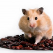 Stock Photo: Hamster on beans