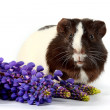 Guinepigs with colors on white background — Stock Photo #8948893