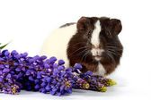 Guinea pigs with colors on a white background — Stock Photo