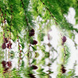 Stockfoto: Larch branches hanging over water in sunny day