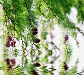 Larch branches hanging over water in a sunny day — Stock Photo