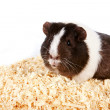Guinea pigs - Stock Photo
