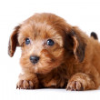 Red puppy of the Petersburg orchid — Stock Photo