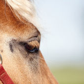 Eye of a red horse — Stock Photo