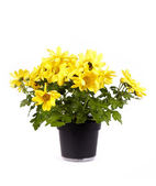 Yellow chrysanthemum in a pot — Stock Photo