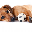The red dachshund with a ball lies - Stock Photo