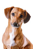 Portrait of the red dachshund — Stock Photo