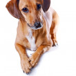 Red dachshund — Stock Photo #9714783