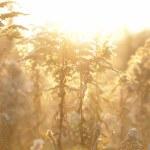 Wheat field on sunset — Stock Photo #8535007