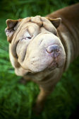 Shar-pei dog portrait in garden — Stock Photo