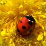 Ladybird — Stock Photo #10364693