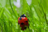 Ladybug with dew — Stock Photo