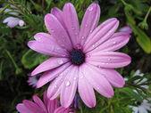 Daisy wet — Stock Photo