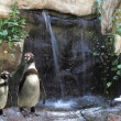 Royalty-Free Stock Photo: Pingüinos en el zoo junto a una cascada