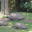 Royalty-Free Stock Photo: Tortugas paseando por la hierba del zoo