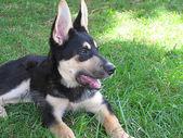 Cachorro de pastor alemán en la hierba — Stock Photo