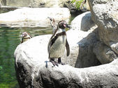 Pingüino subido a una roca en el zoo — Stock Photo
