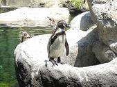 Pingüino subido a una roca en el zoo — Stock fotografie