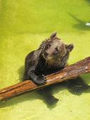 Oso jugando con un tronco en el agua — Foto de Stock