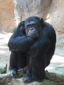 Chimpancé — Stock Photo