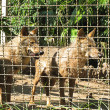 Stock Photo: Lobos entre rejas