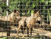 Lobos entre rejas — Stock Photo