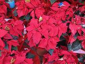 Christmas plants — Stock Photo