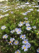 Blue Daisies — Stock Photo