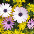 Daisies and flowers — Stockfoto #9986934