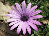 Pink daisy — Foto de Stock