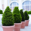Ornamental potted trees — Stock Photo