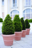 Ornamental potted trees — 图库照片
