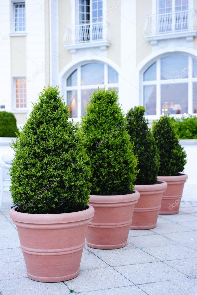 rboles ornamentales en maceta foto de stock