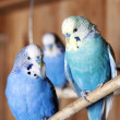 Stock Photo: Pet budgerigars in aviary