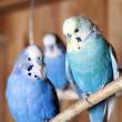 Pet budgerigars in aviary — Stock Photo #8333487