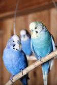 Pet budgerigars in aviary — Stock Photo