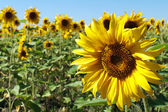 Cheerful yellow sunflower — Stock Photo