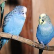 Royalty-Free Stock Photo: Pair of blue budgerigars