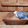 Blue budgie — Stock Photo #9197014