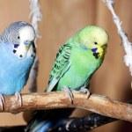 Pair of blue budgerigars — Stock Photo