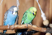 Pair of blue budgerigars — Stock Photo