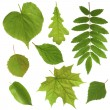 Green leaves isolated on white background — Stock Photo #10724001