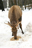Deer eating grain in snowy place — Stock Photo
