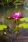 Lotos różowy — Zdjęcie stockowe