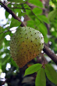 Exotic fruit on tree — Stock Photo
