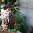 A falcon wearing its hood. Captive environment - Stock Photo