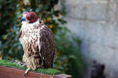 A falcon wearing its hood. Captive environment — Stock Photo