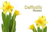 Yellow Daffodils Flowers. — Stock Photo